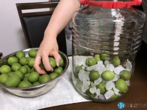 梅酒用の瓶に、氷砂糖と梅を敷き詰める