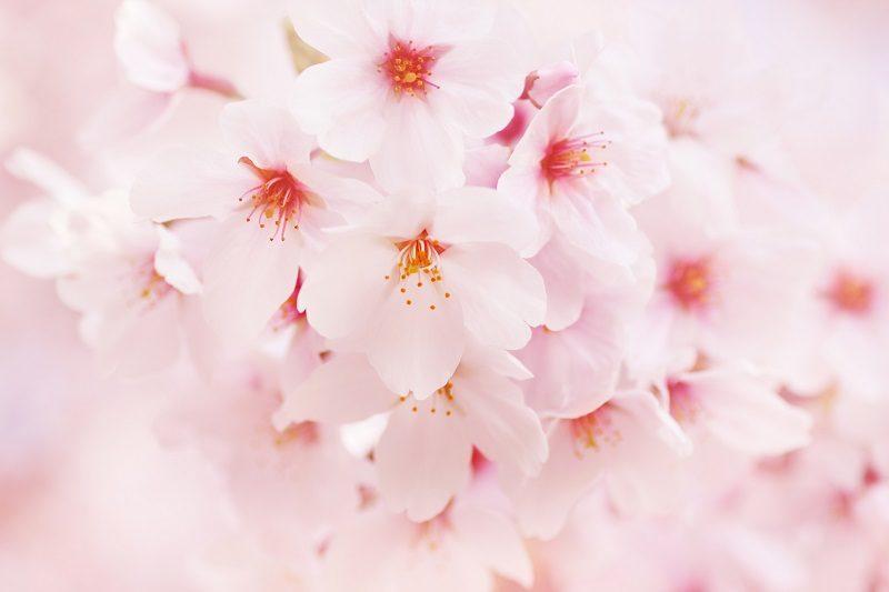 10桜フリー画像