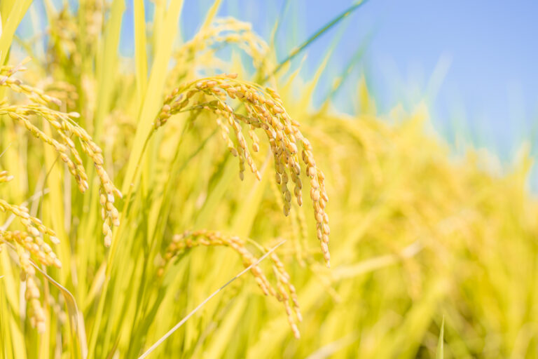 日本酒に使われているお米は食用とは違う?酒造好適米について解説!