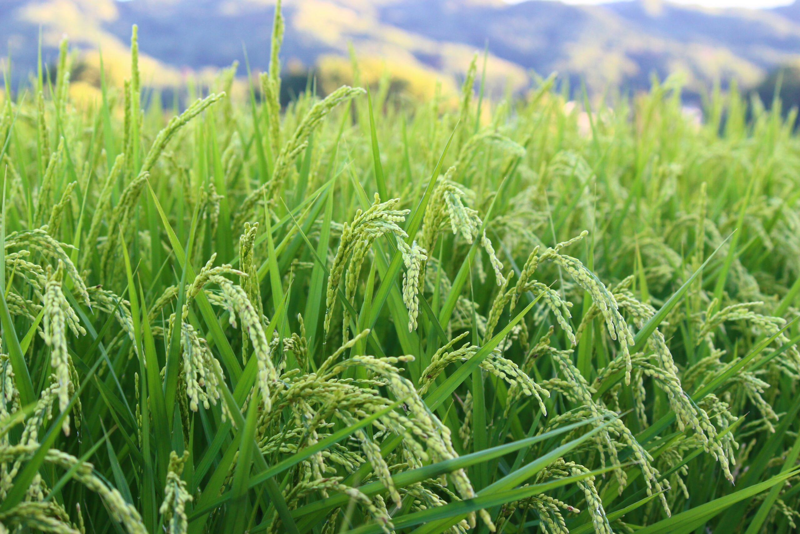 長野県佐久市の無農薬コシヒカリを100%使用した日本酒を醸造 「生きもの田んぼ」の魅力を伝えたいという想いのもとクラウドファンディングを通じた支援を実施